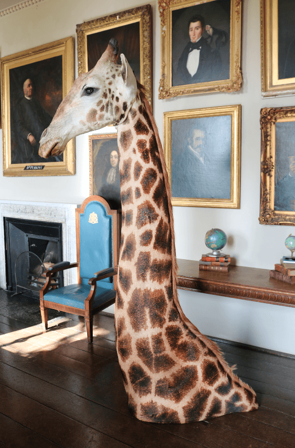 Taxidermy Giraffe Shoulder Mount - A Modern Grand Tour