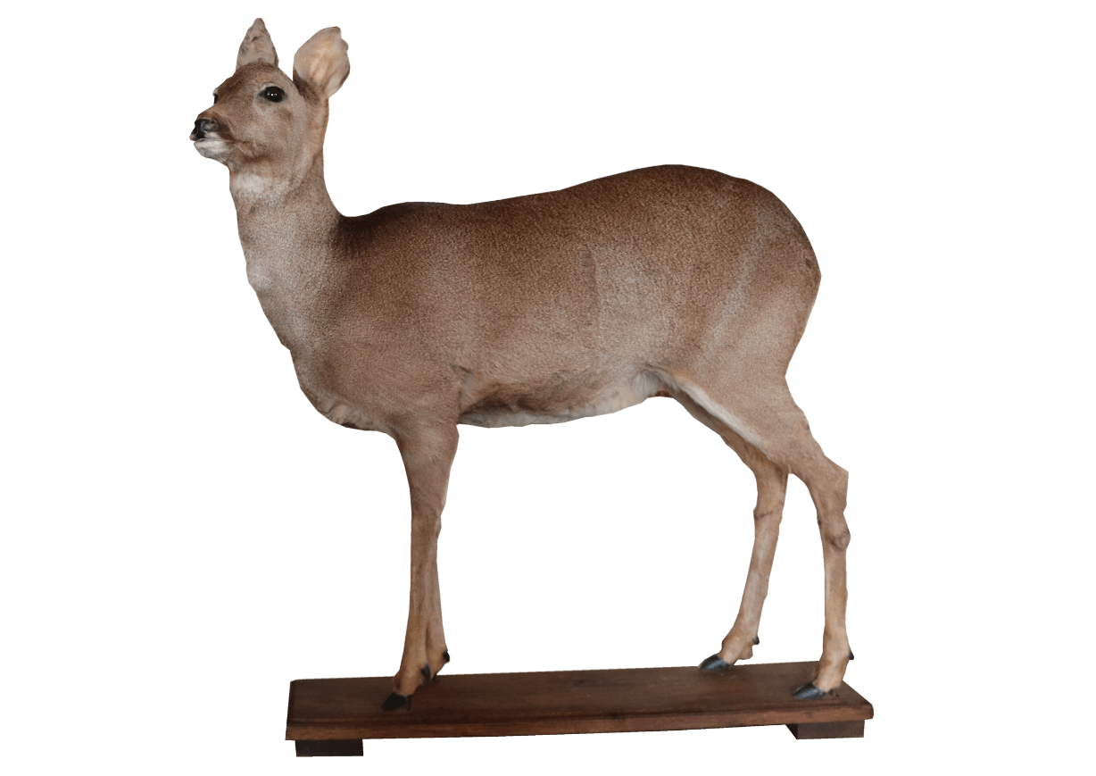 20th Century Full Mount Taxidermy Roe Deer - A Modern Grand Tour