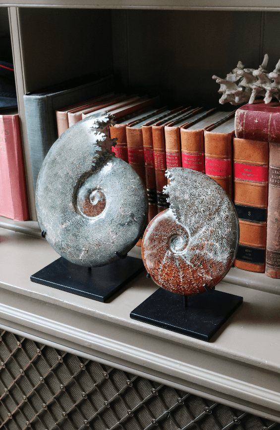Cleoniceras Polished Ammonites Large - A Modern Grand Tour