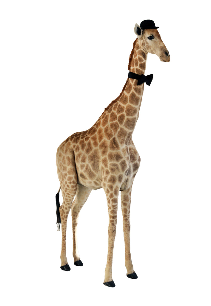 20th Century Taxidermy Giraffe - A Modern Grand Tour