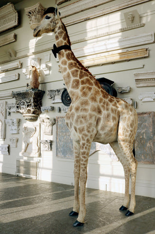 20th Century Taxidermy Giraffe