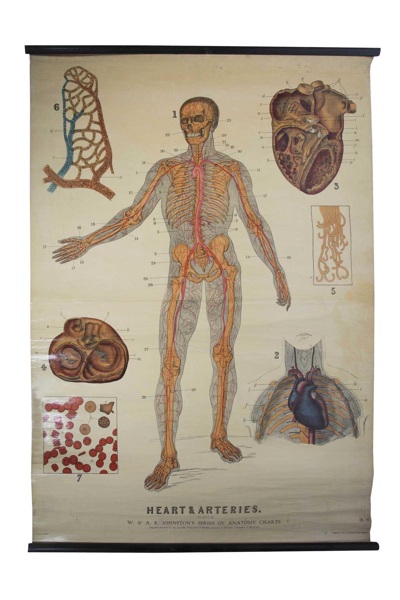 W. & A.K. Johnston's early 20th Century anatomy - Heart & Artery system