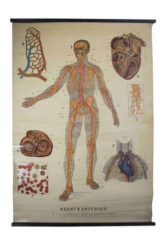 W. & A.K. Johnston's early 20th Century anatomy - Heart & Artery system - A Modern Grand Tour