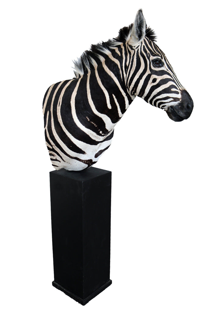 A 21st Century Taxidermy Burchell's Zebra Shoulder Mount - A Modern Grand Tour