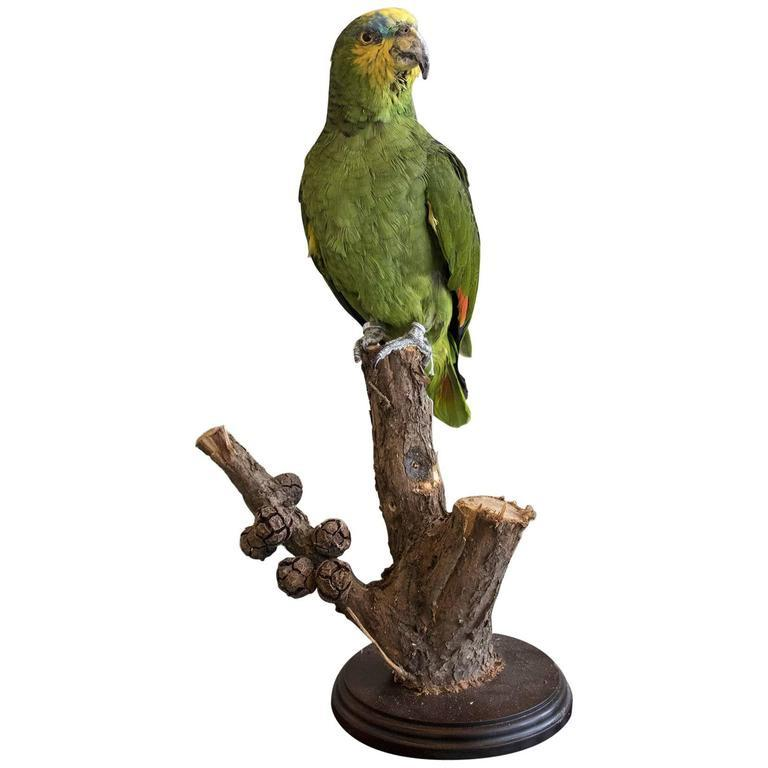 A Taxidermy Orange Winged Parrot