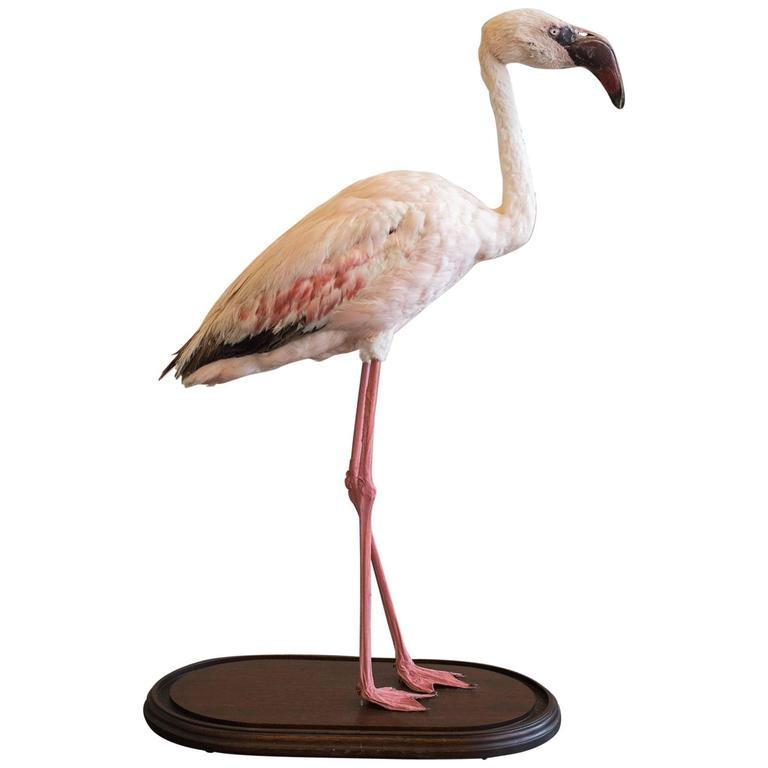 Taxidermy Lesser Flamingo