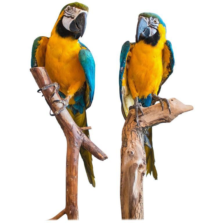 Taxidermy Blue and Gold Macaw No. 1