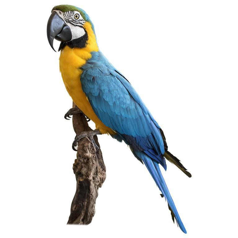 A Taxidermy Blue and Gold Macaw