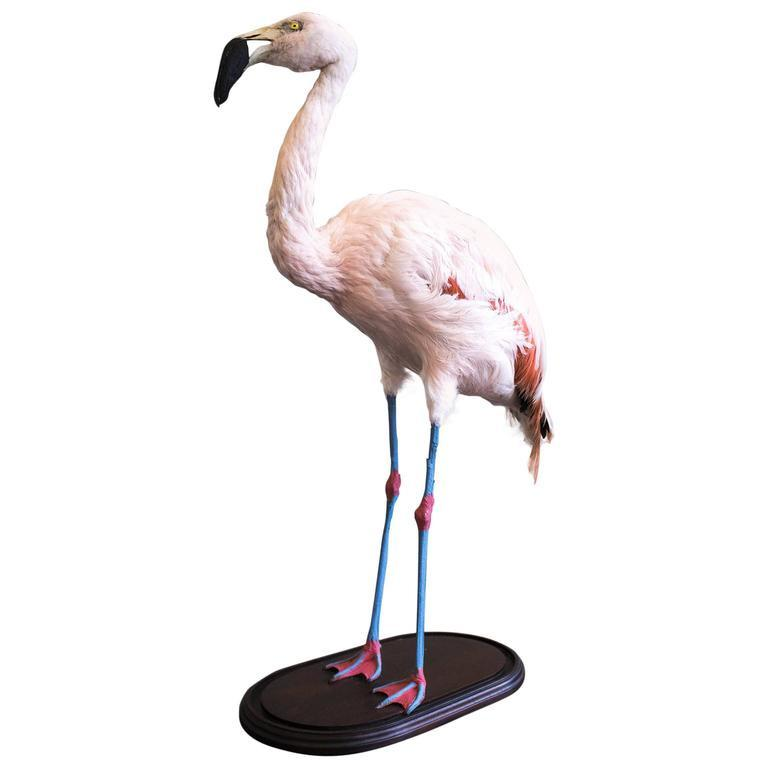 Taxidermy Chilean Flamingo
