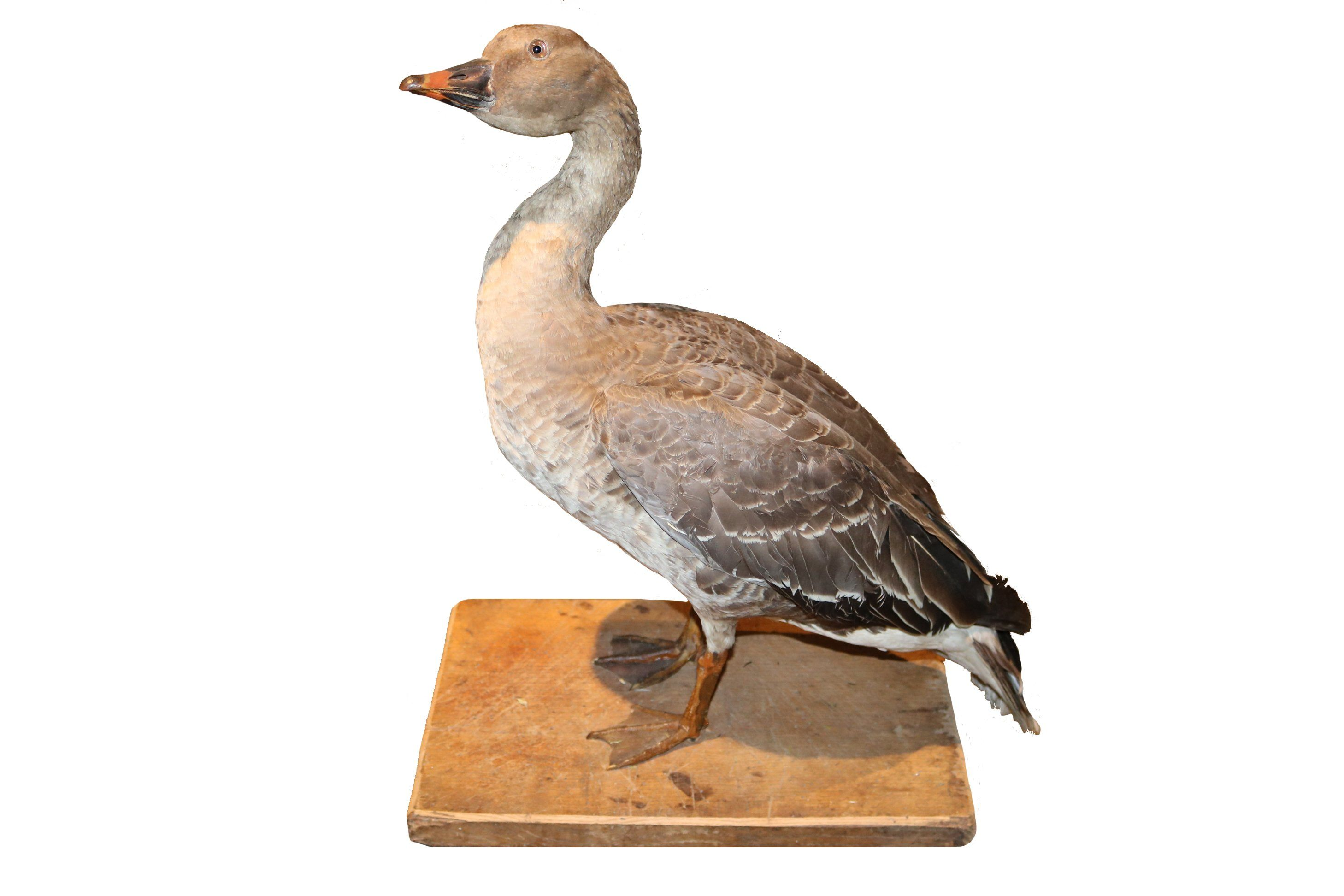 Taxidermy Study of a Grey Goose