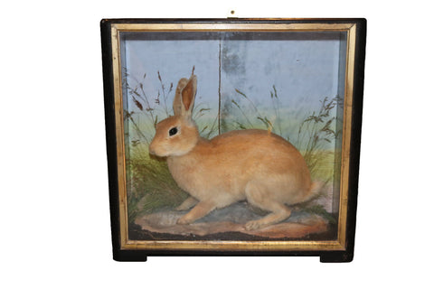 Taxidermy Rabbit in a case