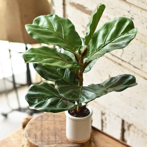 Potted Fiddle Leaf Fig