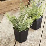 Potted Rosemary - Set of Two