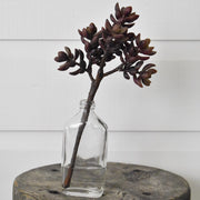 Ice Plant Succulent- Brown
