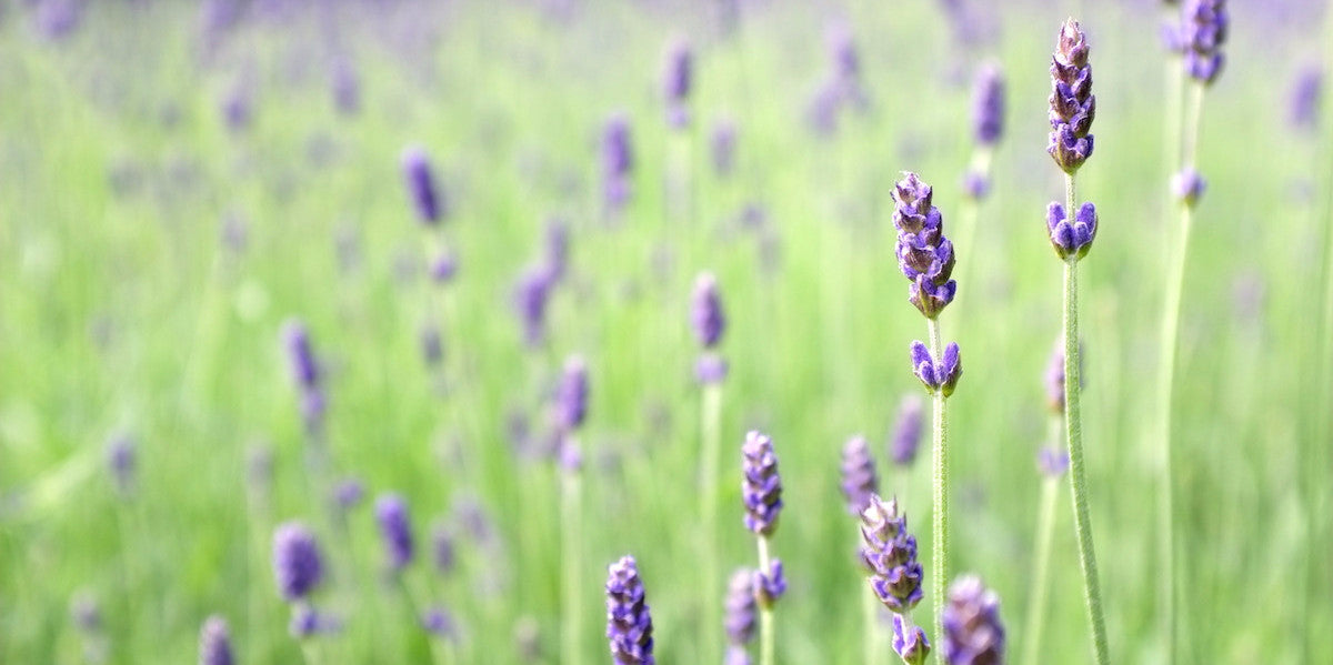 lavender - anti-anxiety herb