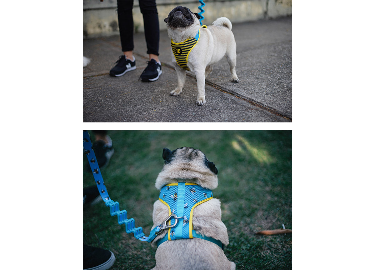 Pug wearing Buzz harness and leash
