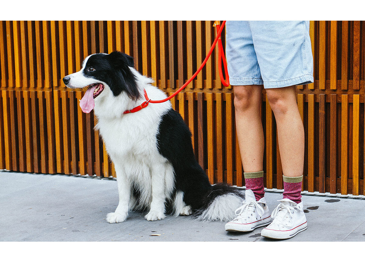 Border Collie wearing Peralta Obedience Rope Leash