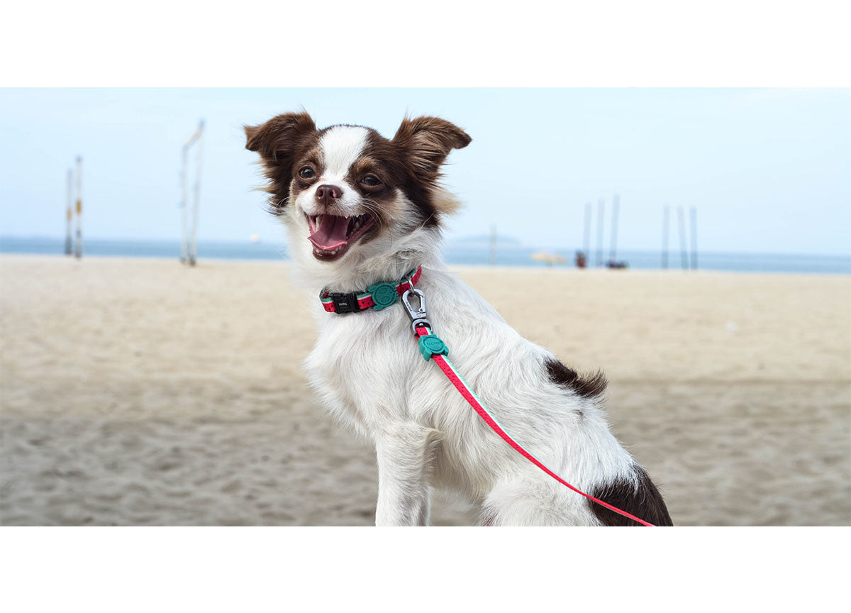 Chihuahua wearing Lola collar and leash