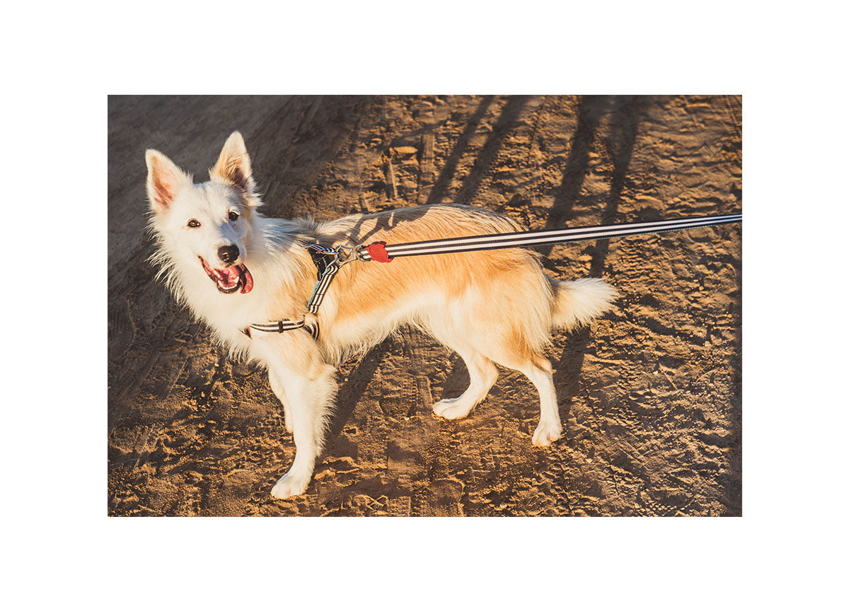 Border Collie wearing Asos harness and leash