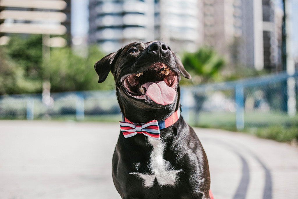 Dog wearing Oregon Bow Tie | Zee.Dog