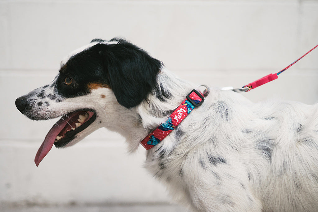 Dog Wearing Uni Collar | Zee.Dog