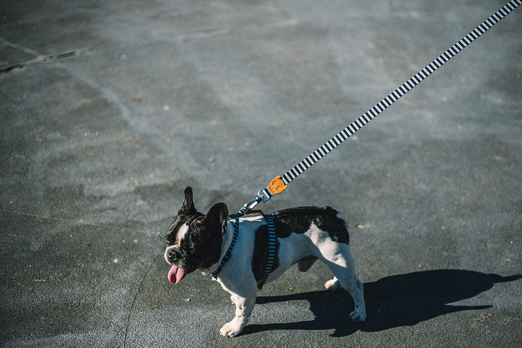 Dog wearing Mango Dog Leash | Zee.Dog