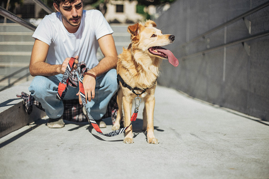 Dog wearing Paisley Dog Leash | Zee.Dog