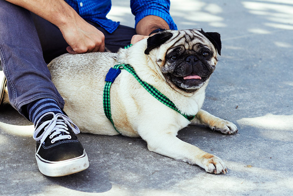 Dog with jack step-in harness | Zee.Dog