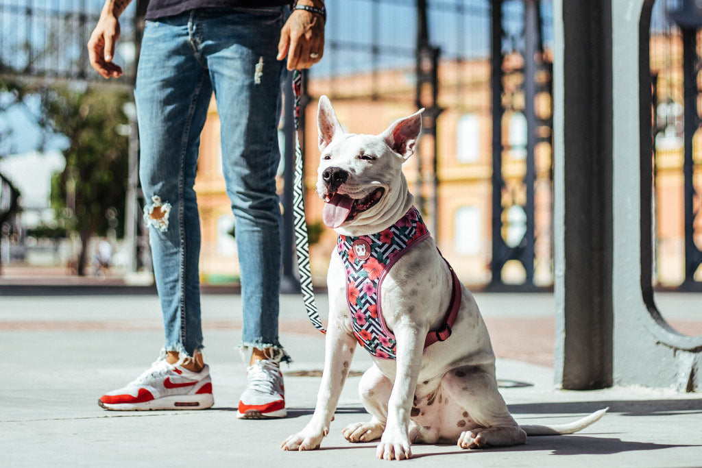 Dog wearing Mahalo Mesh Plus Dog Harness | Zee.Dog