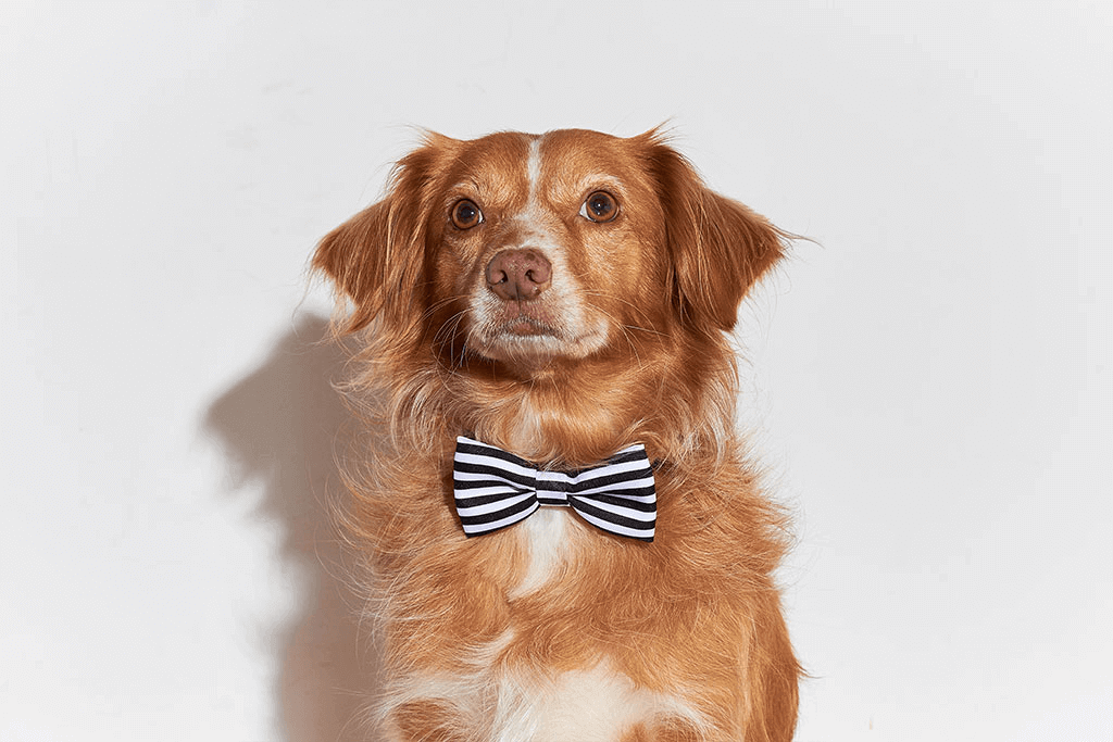 Dog Wearing Asos Large Bow Tie | Zee.Dog