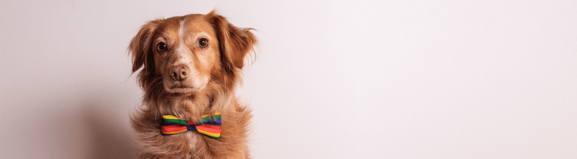 Proud | Dog Bow Tie