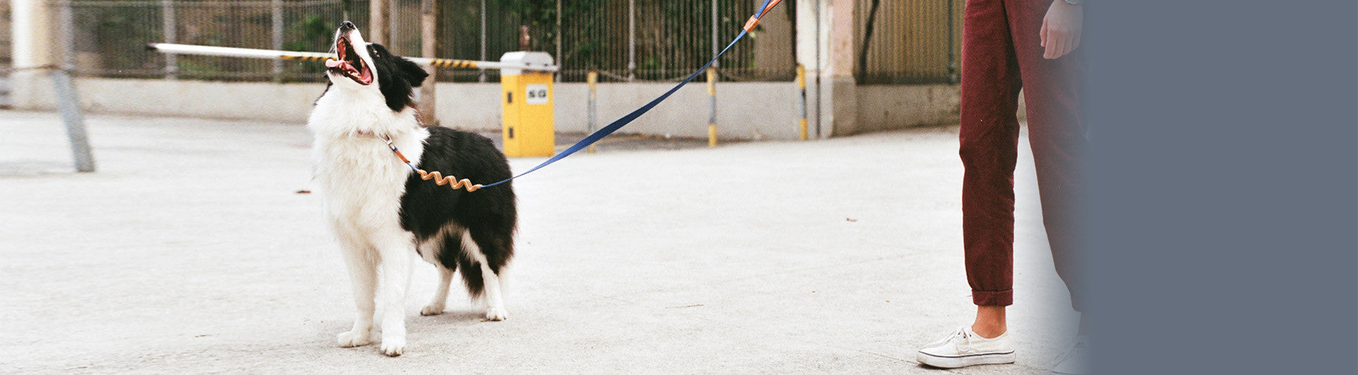Border Collie wearing Cannoli Ruff Leash | Zee.Dog