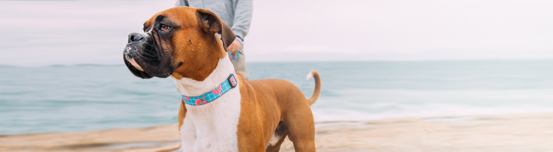 Boxer wearing Homer Collar | Zee.Dog