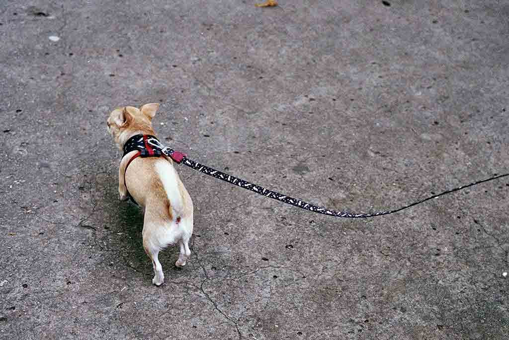 Chihuahua wearing Flash mesh harness | Zee.Dog