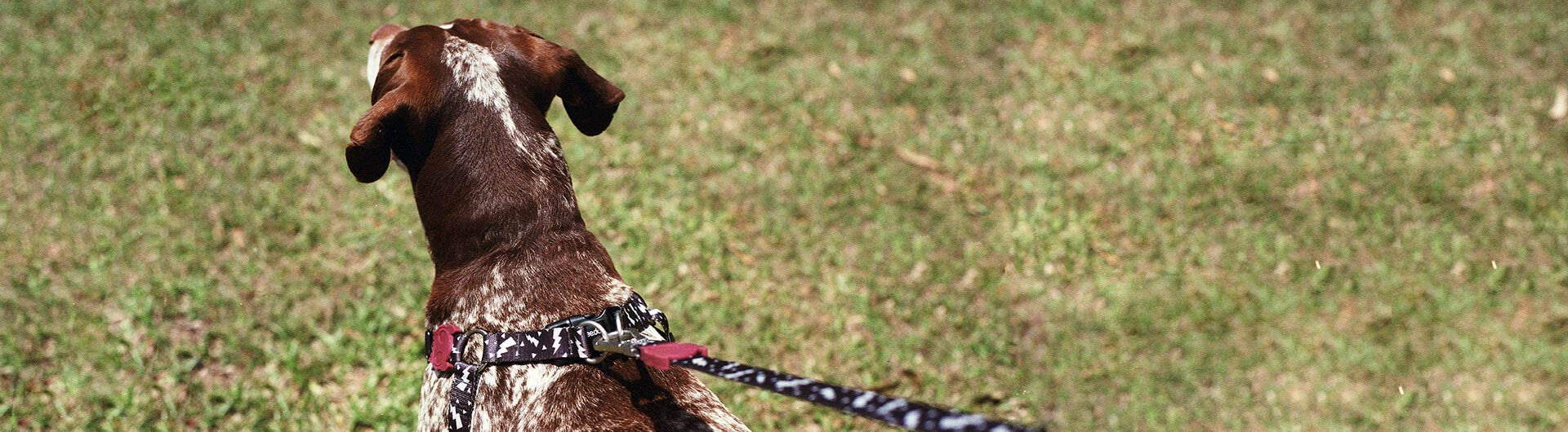 Dog Wearing Flash Step In Harness | Zee.Dog