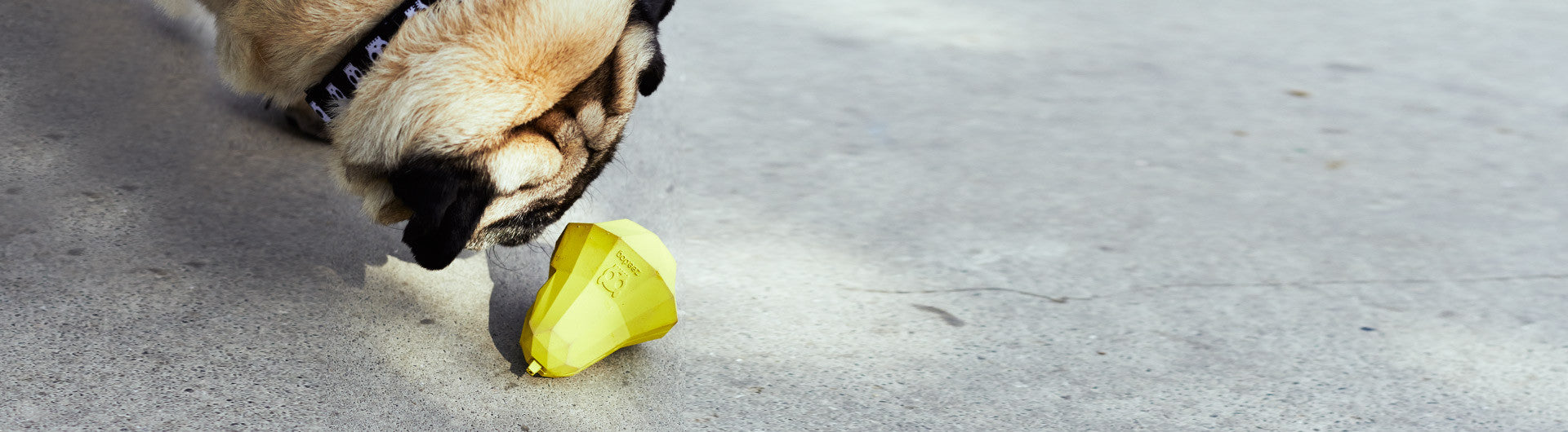 Pug playing with Super Pear Dog Toy | Zee.Dog
