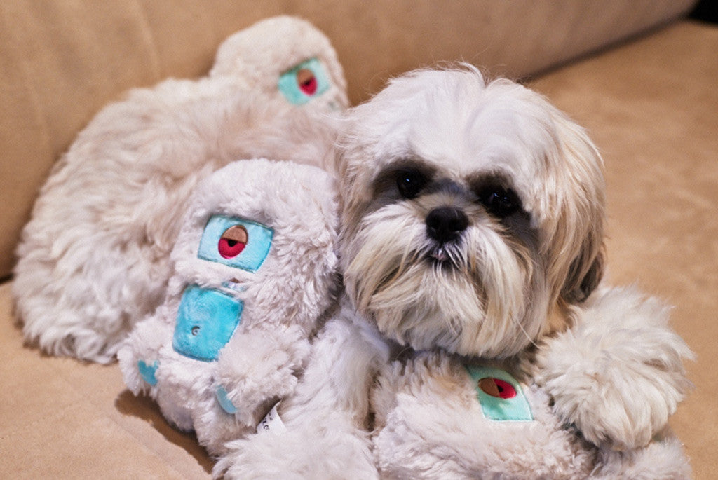 Shih Tzu playing with Alien Flex Harry Dog Toy | Alien Flex
