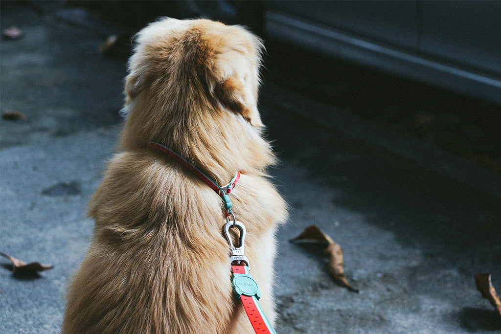 Lola Obedience Dog Collar | Zee.Dog