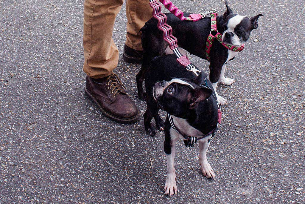 Boston wearing Asos Ruff Leash | Zee.Dog