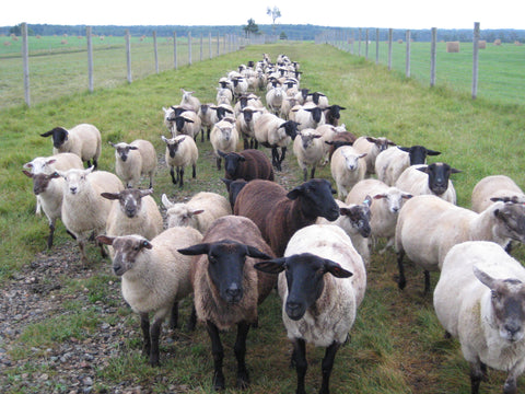Sheep being moved to a new field for grazing.