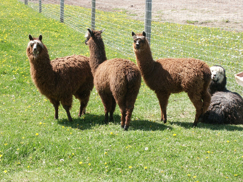 Alpacas enjoying the summer sunshine.