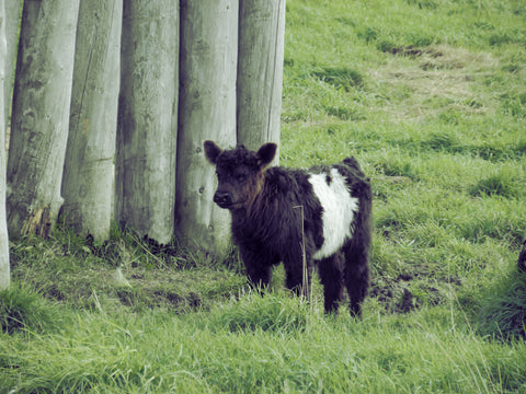 A young belted Galloway calf bravely explores without his mother close by