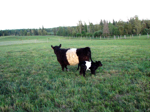 A Belted Galloway cow and her calf