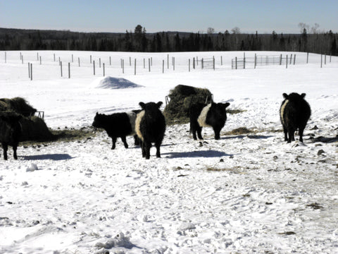 Belted Galloway cows can survive harsh winters because of their thick coats of hair.