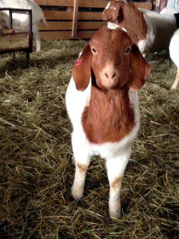 A curious Boer goat checks out the photographer.