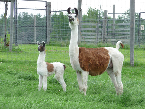 A llama and her baby survey their field.