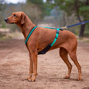 Ridgeback wearing green DogFit canicross harness