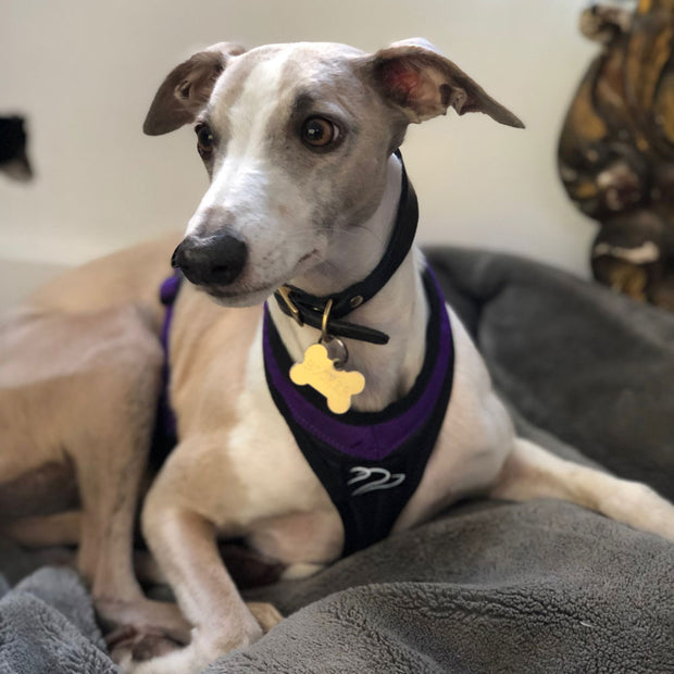 Whippet wearing canicross harness