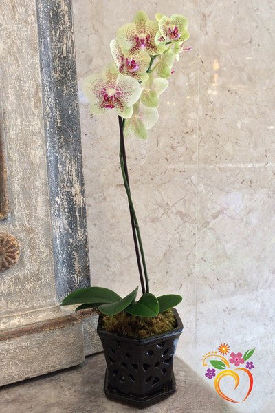 Orchid Plants - Local Delivery Only