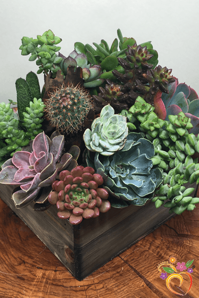 Succulent Design in Wooden Box - Local Delivery Only
